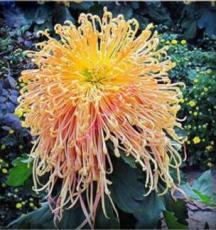 200PCS Chrysanthemum ,Chrysanthemum Perennial Flowers Seeds - Spider Orange Yellowish Flowers