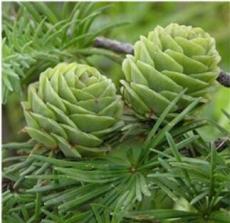50PCS Larch Pine Tree Plants Seeds