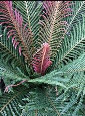 100pcs Garden Fern Seeds Rare Creeper Vines Grass Dark Green Pink Leaves