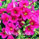 100pcs Calibrchoa Million Bells Annual Flower Seeds - Rose Red Flowers