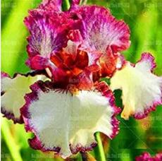 20PCS Iris tectorum Seeds - Red Rose Red White Colorful Flowers