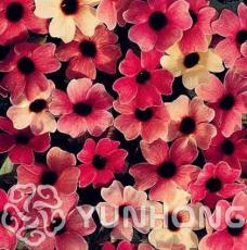 10PCS Thunbergia Alata Seeds Black-Eyed Susan Vine - Rose Red Light Yellow Colors