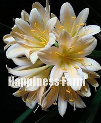 100PCS Clivia Seeds - Milky Yellowish White Colors