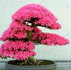 20PCS Japanese Azalea Rhododendron Azalea Seeds - Red Flowers