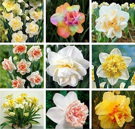 20PCS Narcissus Flower Seeds - Mixed 9 Colors Flowers