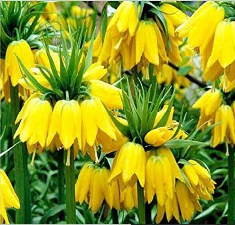 20PCS Yellow Imperial Crown bonsais Fritillaria imperialis Lutea Flowers Seeds