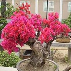 50PCS Bougainvillea Seeds - Red Flowers