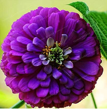 50PCS Classic Zinnia Elegans Flower Seeds