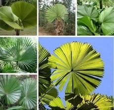 10PCS Licuala grandis Palm Tropical Evergreen Fan-Shaped Seeds