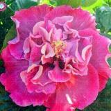 100PCS Double Flap Hibiscus Flower Seeds - Pink Flowers