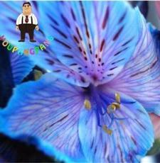100PCS Peruvian Lily Alstroemeria Seeds - Purple Blue Tiger Stripes Flowers