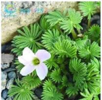 100PCS Rare Oxalis Versicolor Candy Cane Sorrel Seeds - White Flowers