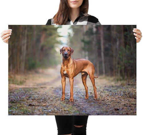 yanfind A1 | Rhodesian Ridgeback Dog Poster Art Print 60 x 90cm 180gsm Puppy