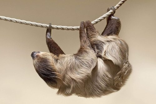 yanfind A1 | Climbing Sloth Poster Art Print 60 x 90cm 180gsm Lazy Animal Fun